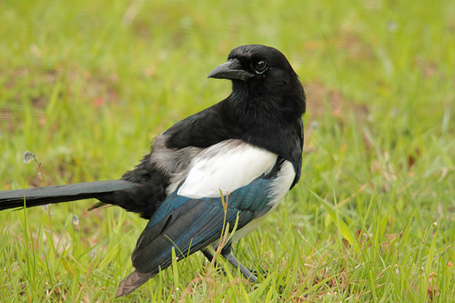 The Cleverness of Magpies