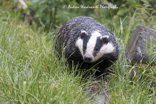 Badger Cull – a Pointless Exercise