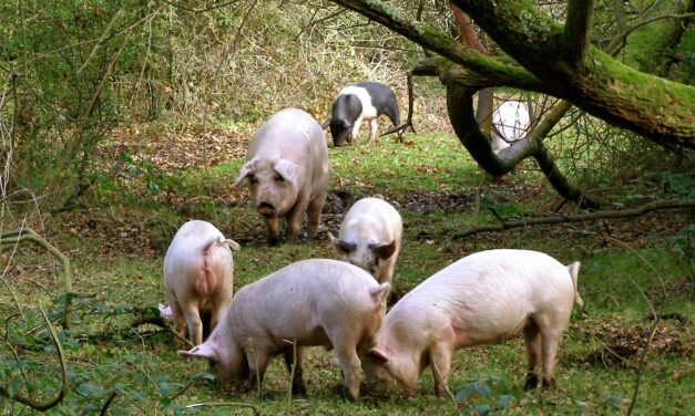 ON PIG HEARTS AND PREJUDICE