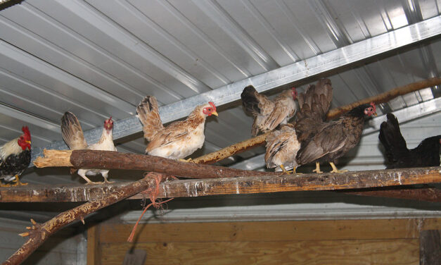 Who's afraid of Chlorinated Chicken?