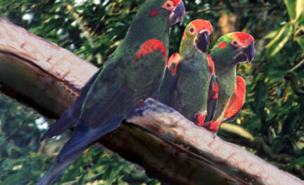 BOLIVIA, BROTHER ANDRE AND THE BURRO MACAWS (ARA RUBROGENYS) – Part 1