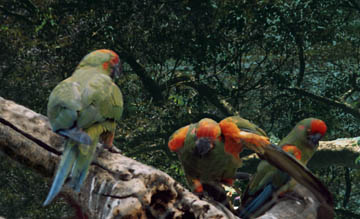 BOLIVIA, BROTHER ANDRE AND THE BURRO MACAWS (ARA RUBROGENYS) – Part 2